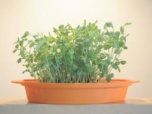 bean sprout.JPG